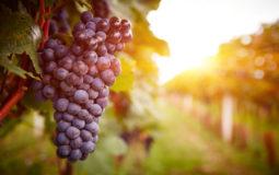 Conheça os benefícios dos polifenóis da uva